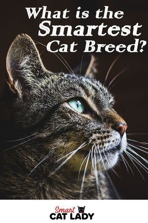 What is the Smartest Cat Breed? Check Out These 7 Smarty Cats #catbreeds
