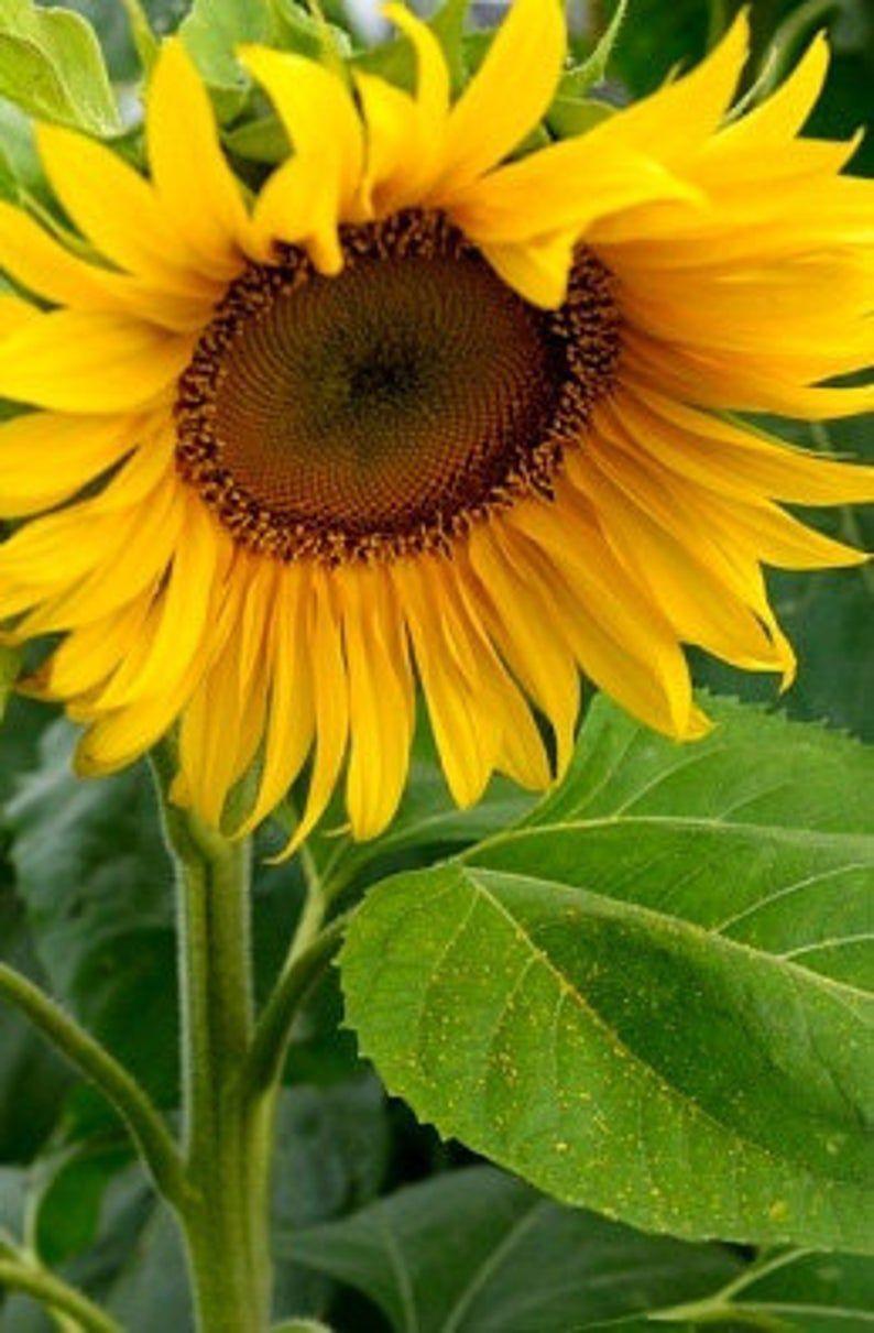 Heirloom Mammoth Russian Sunflower Flower Seed Garden Organic Etsy In 2020 Mammoth Sunflower Sunflower Flower Sunflower Pictures