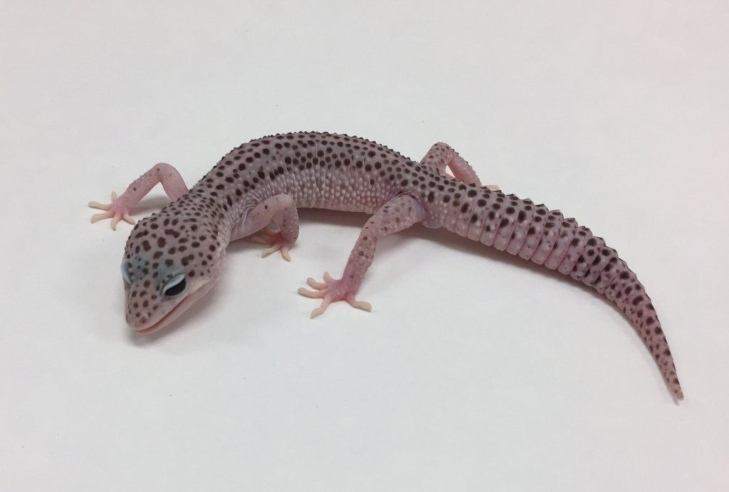 Super Snow W/Y Leopard Gecko by BHB Reptiles - MorphMarket ...
