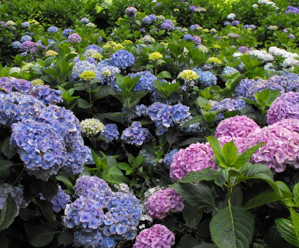 The Dazzling Delights Of Hydrangeas