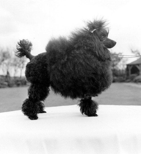 50s 60s Poodle In English Saddle Clip Poodle Dog Poodle Poodle