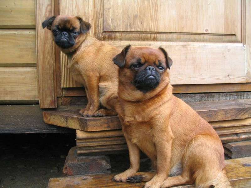 50 Photos That Prove The Petit Brabancon Is The Coolest Dog Breed Brussels Griffon Dog Breed Information Pictures Ch Griffon Dog Dog Breeds Brussels Griffon