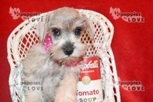 Schnauzer Miniature Puppy For Sale In Sanger Tx Adn 45662 On