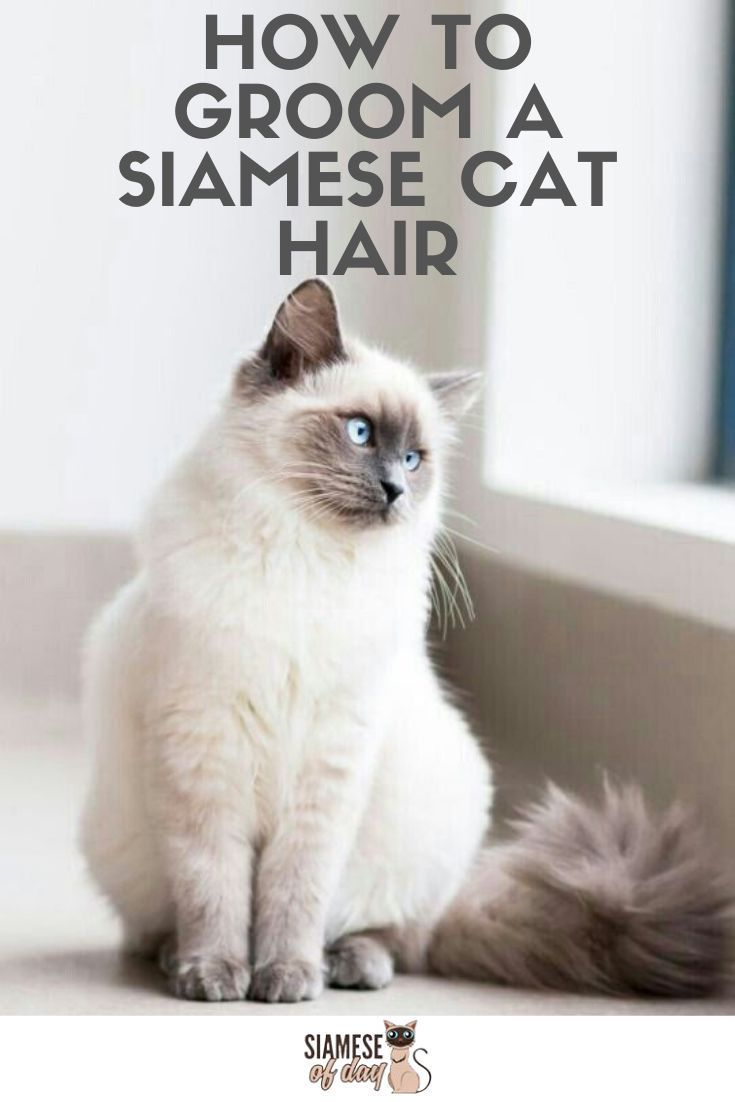 Siamese Long Hair Siamese Siamesische Lange Haare Cheveux Longs Siamois Pelo Largo Siames Siamese Cats Siamese Kit In 2020 Siamese Cats Cats Cats And Kittens