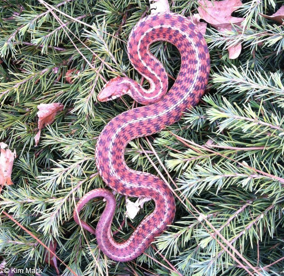 Download Free Pink Eastern Garter Snake Desktop Wallpaper Hd For Mobile Iphone Pc Tablet