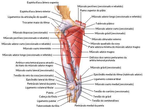 Musculos Da Coxa Vista Anterior Profunda Aula De Anatomia