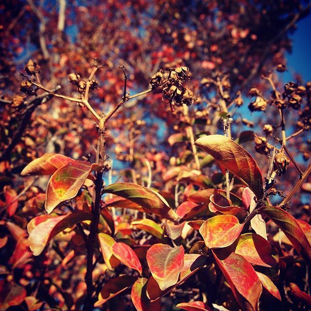 Please follow me on Instagram to receive all my latest photos  https://www.instagram.com/douglaswelch/  #photography #instagram #garden #nature #travel   Crape myrtle leaves in Autumn #autumn #fall #trees #nature #leaves #ig_naturepictures #ig_naturelovers #ig_trees