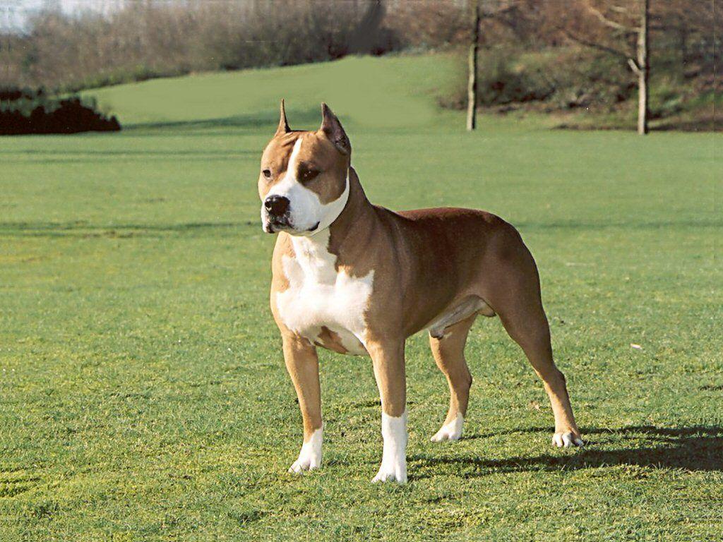 Amstaff Pitbull Dog Breed Dogs Dog Breeds