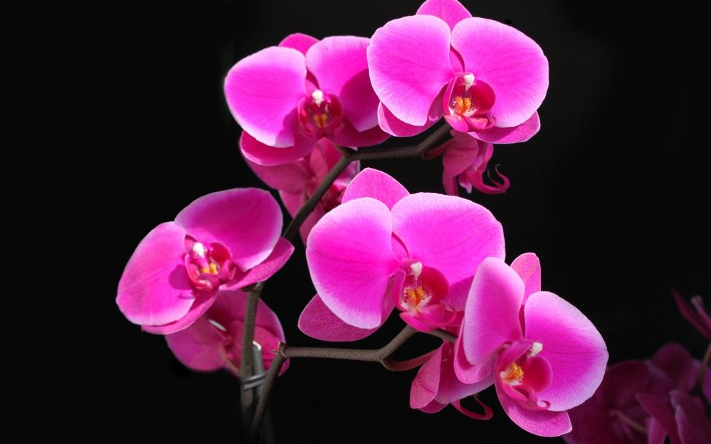 Pink Orchid Flowers Pink Hd Wallpaper Pink Flowers Wallpaper Beautiful Pink Flowers Pink Flowers
