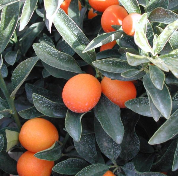 Meiwa Nagami Kumquats Cold Hardy Citrus Growing Fruit Citrus Plant Kumquat Tree