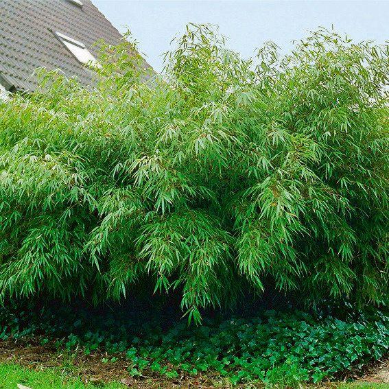 Garten-Bambus Rufa Garten Pinterest Bambus, Bambus garten - japanischer garten bambus