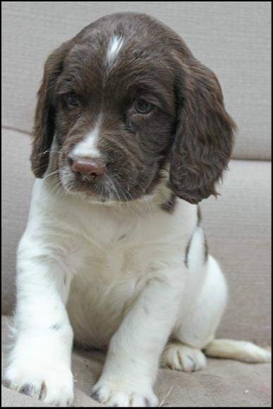 dugan cocker spaniel puppy for english springer spaniel soo cute fluffy 4431