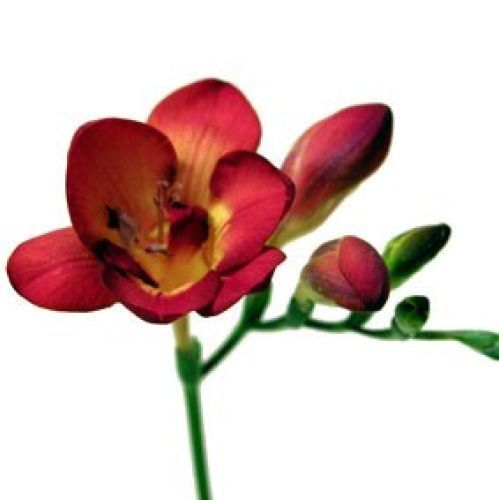 Freesia Red Freesia Flowers Wholesale Flowers Wedding Online Wedding Flowers