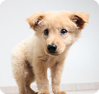 Edina Mn Golden Retriever Chow Chow Mix Meet Teddy D161452