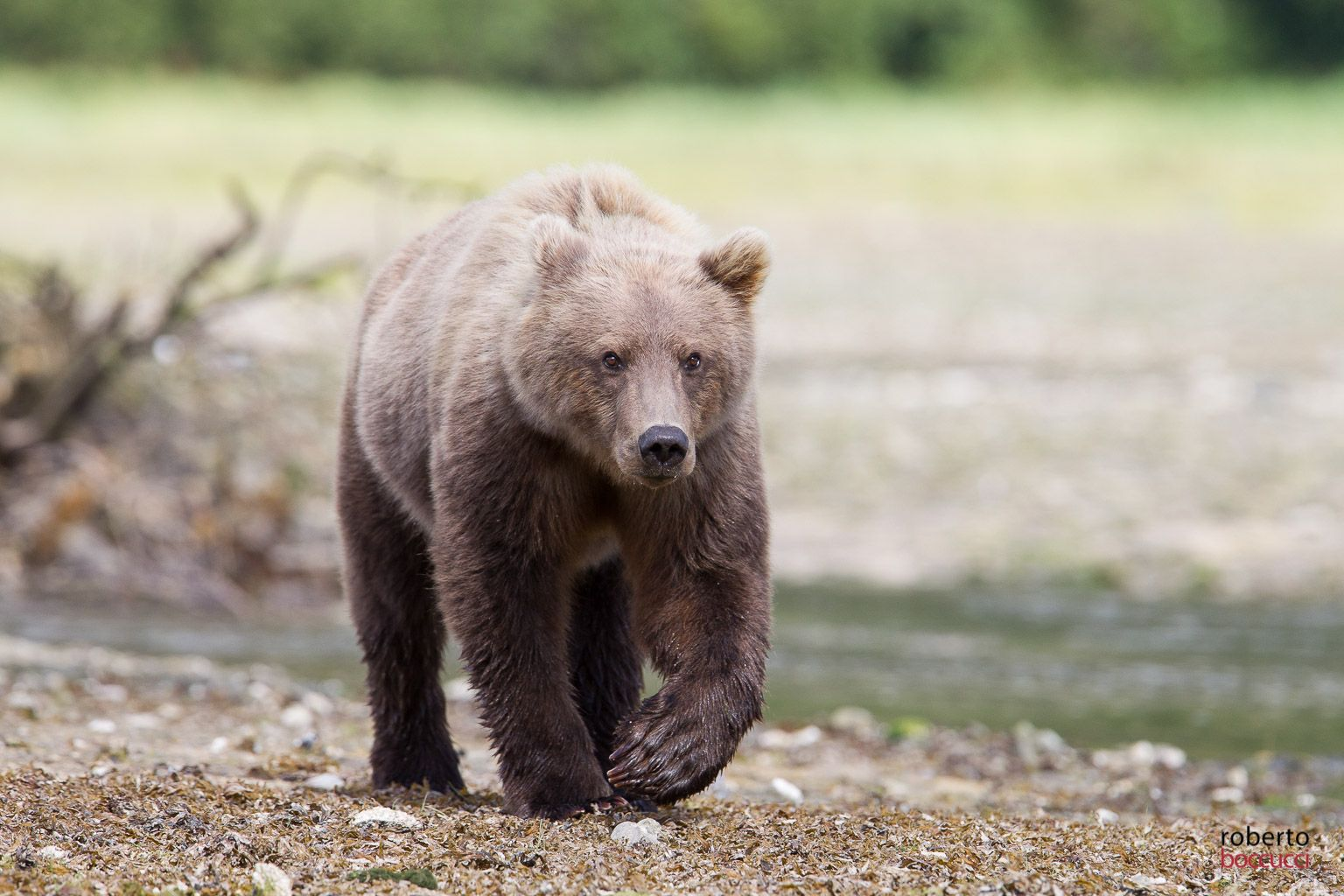 Grizzly (Geographic harbor - Alaska)