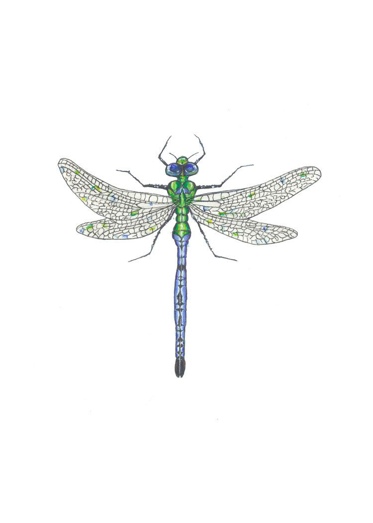 Emperor Dragonfly print of original watercolor. $16.00, via Etsy.