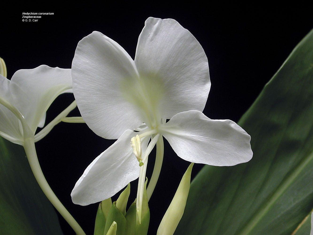Hedychium Coronarium Zingiberaceae Butterfly Lily Ginger Lily Awapuhi Ke Oke O White Ginger A Del Ginger Flower Unusual Flowers White Flowering Plants