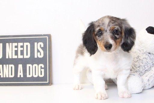 Dachshund Puppy For Sale In Naples Fl Adn 31326 On Puppyfinder