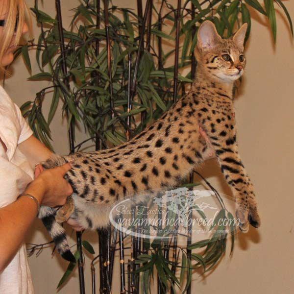 F1 Savannah Kittens For Sale Select Exotics Savannah