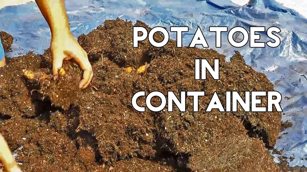 Growing Potatoes in Containers (Harvest Surprise at the end ...