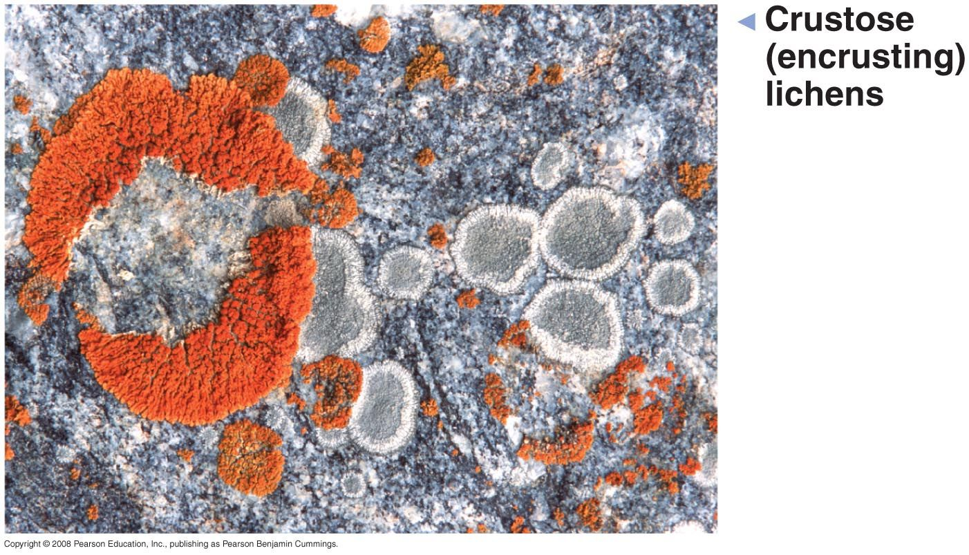 Image result for crustose lichens KISS MY LIPS