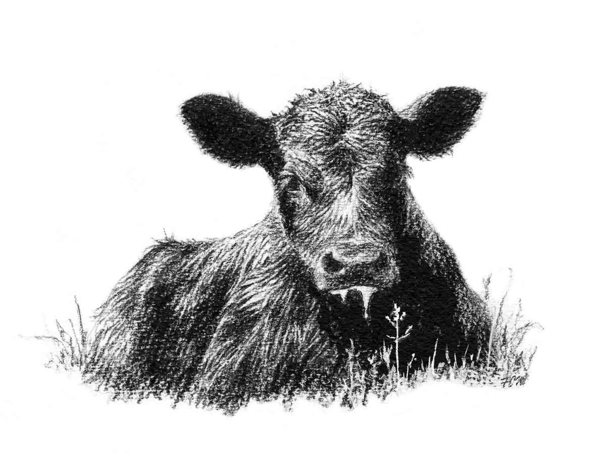 Angus Cattle Paintings Calf A Calf Laying In Grass