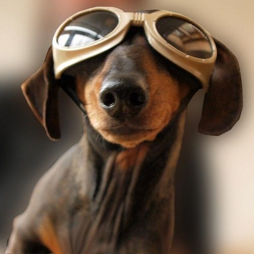 weeny dog in flight goggles