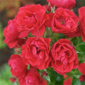 Flower Carpet Rose Scarlet Ground Cover Roses Rose Flowers