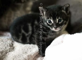 charcoal bengal kittens bengal cats for sale california