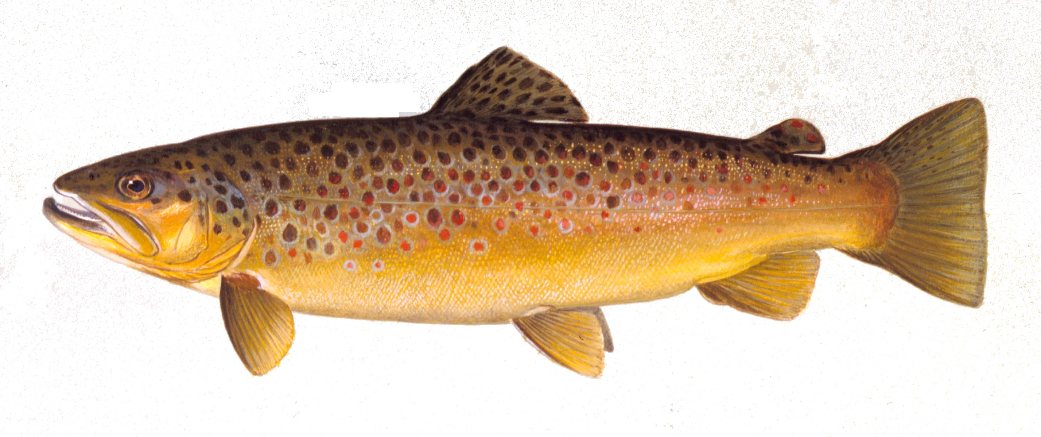 15+ Different Types of Trout Fish with Pictures | Trout | Pinterest ...