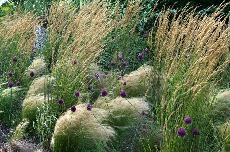 Garden Ideas, Border ideas, Perennial Planting, Perennial combination, Summer Borders, Allium sphaerocephalon,  Drumstick Allium, Stipa barbata, Feather grass, stipa tenuissima, nasella tenuissima, calamagrostis