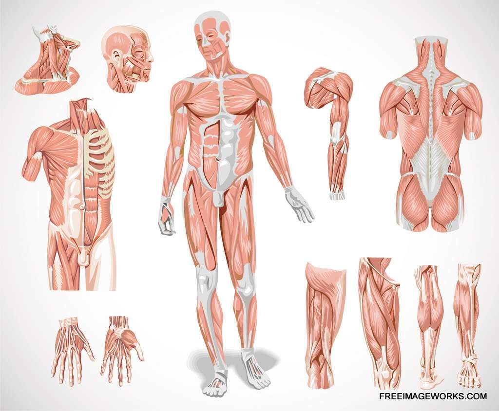 Human Muscle System Mind Body Soul Pinterest Human Muscle