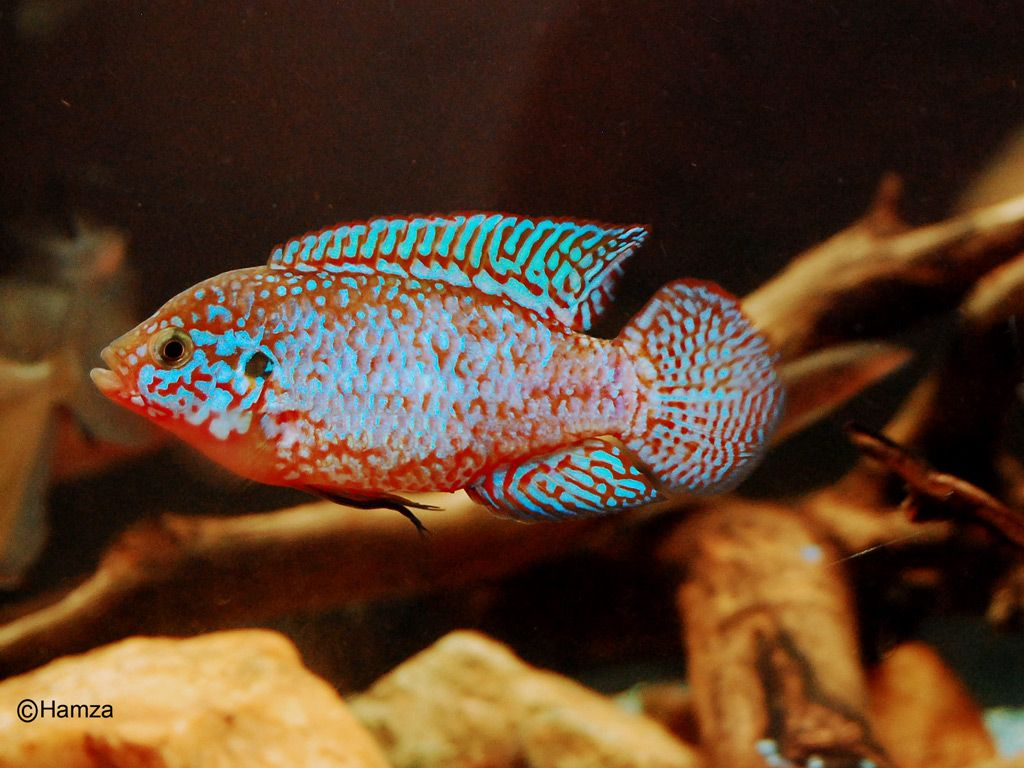 Freshwater jewel fish - Cichlids Hemichromis Bimaculatus African Cichlidsfreshwater Fishjewelskinglakespicturesaquarium