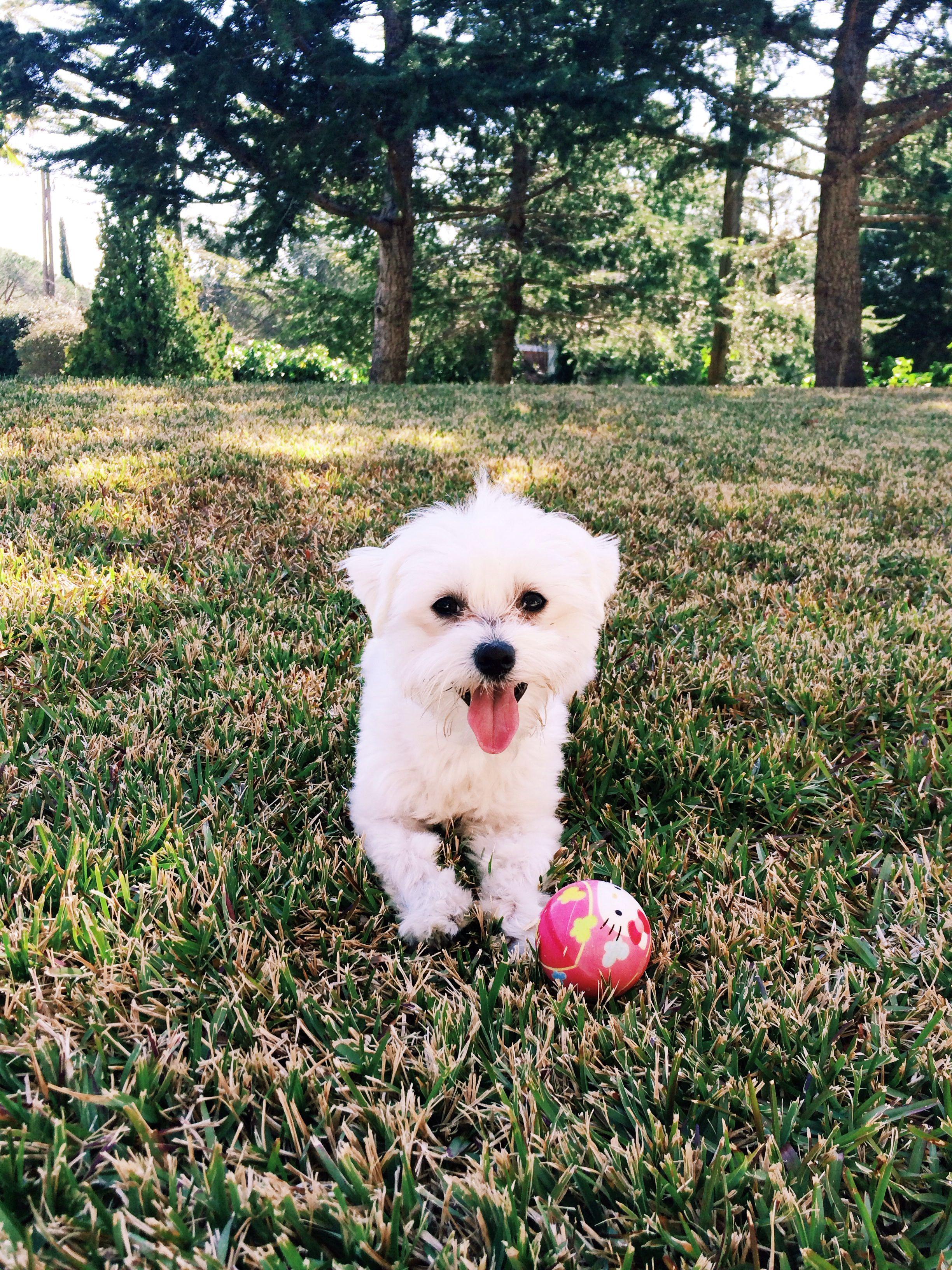 Weiss blanca vila riera Dog / perro Perros