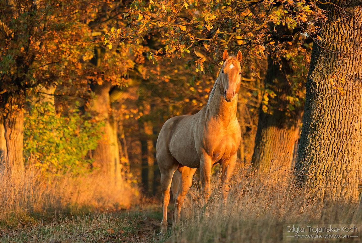 AQH stallion in the autumn golden light