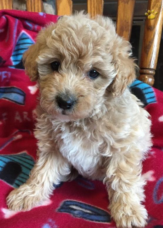Alissa Mini Goldendoodle Puppy for Sale in rochester, IN