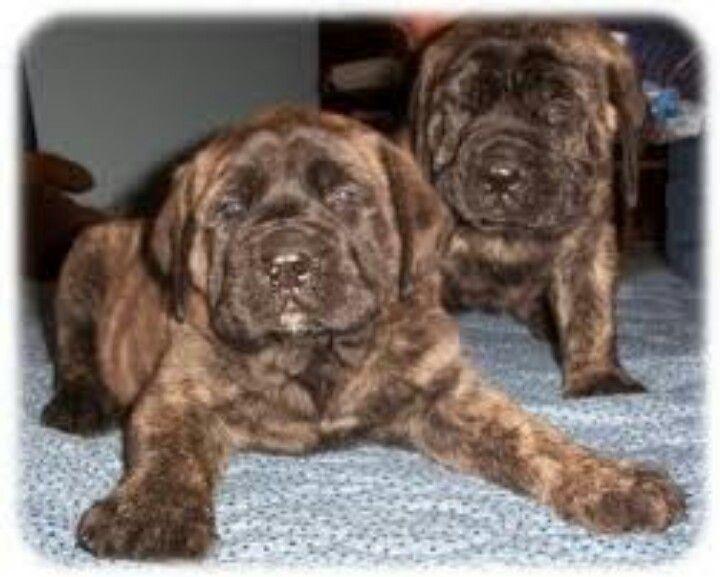 Brindle English Mastiff Puppies Sweet Mastiff Puppies English