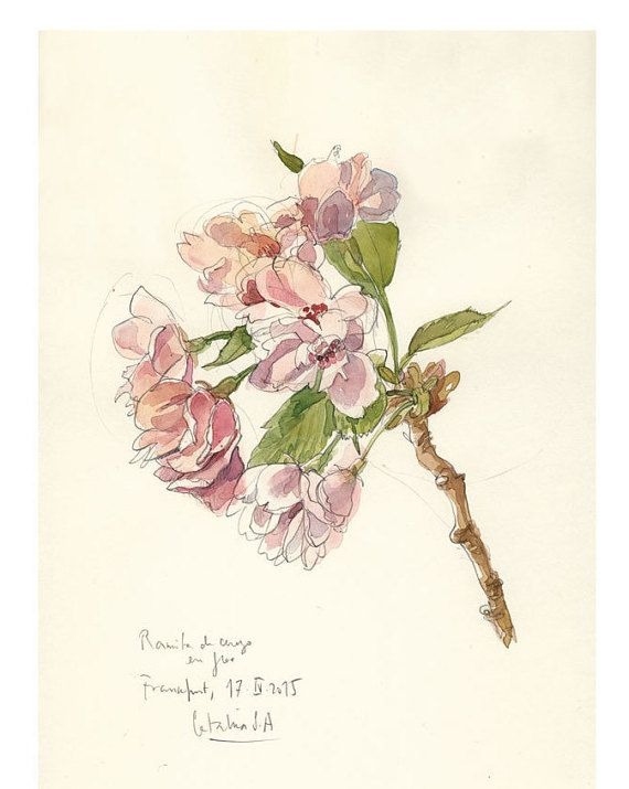 Cherry Blossom Drawing Watercolor And Pencil Botanical Print Of Blooming Cherry Drawing