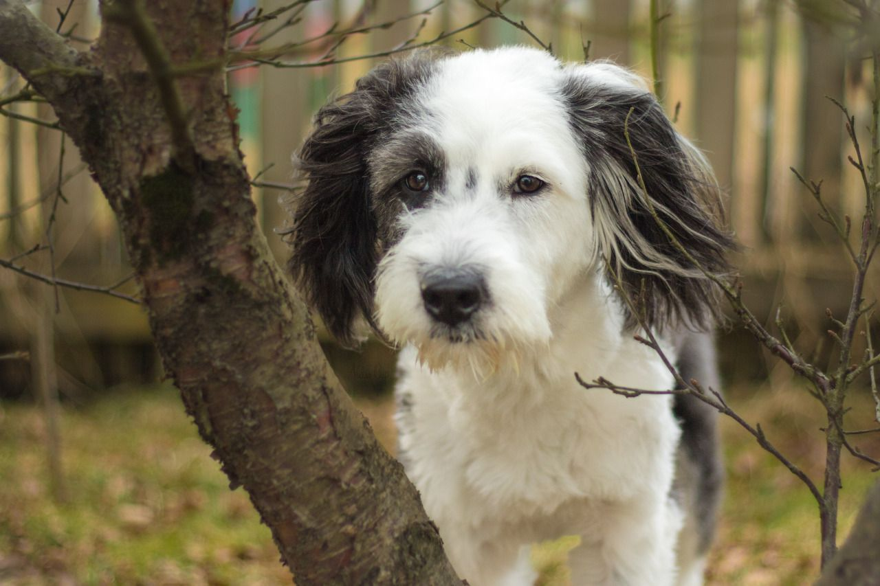 Border Collie Old English Sheepdog Mix Old English Sheepdog