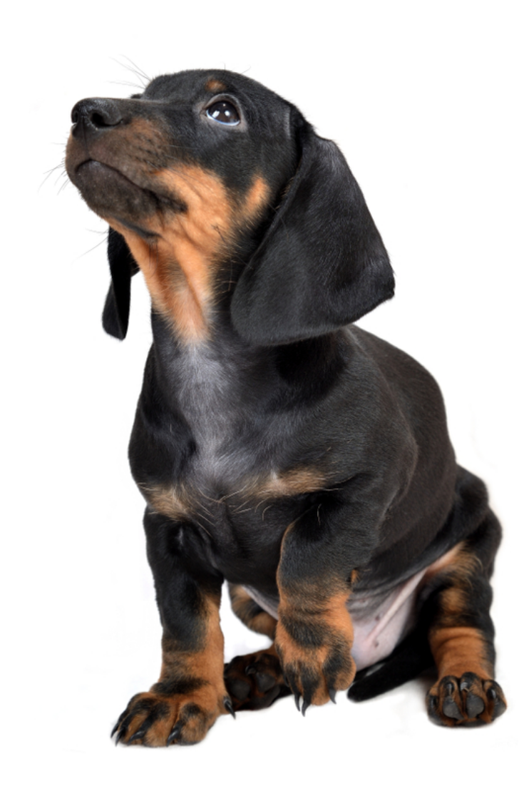 Sitting Two Month Smooth Black And Tan Dachshund Puppy On White Background Dachshund Dachshund Lovers Dachshund Love