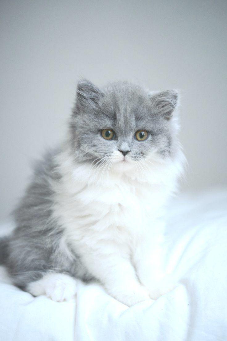 Adorable British Shorthair Kitten Katzen Katzenrassen