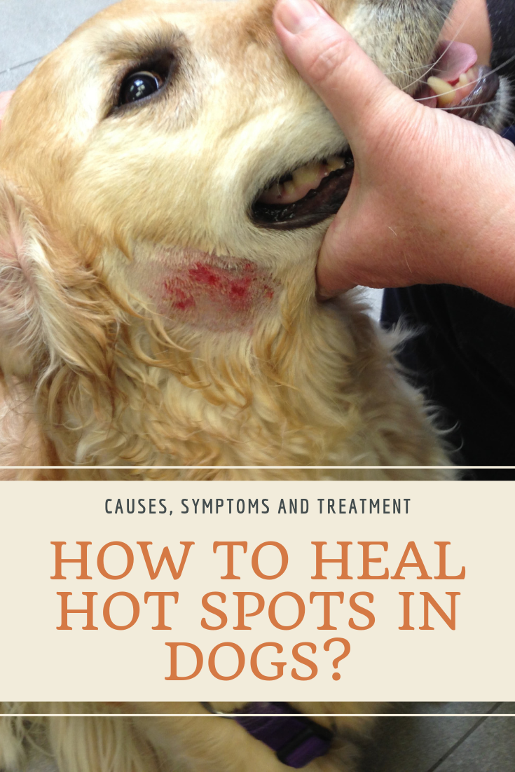 Symptoms And Tips How To Heal Hot Spots In Dogs Naturally Dog Hot Spots Remedy Dog Hot Spots Dog Treatment