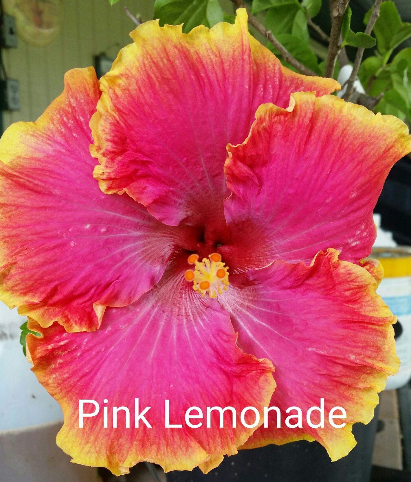 Pink lemonade hibiscus hibiscus we grow pinterest hibiscus pink lemonade hibiscus mightylinksfo