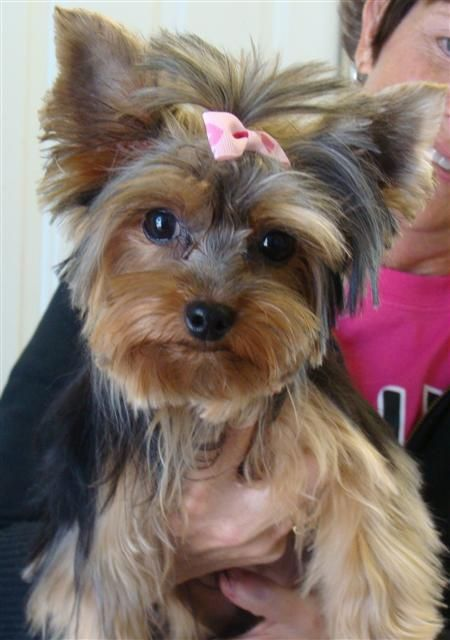 yorkie hair cut styles yorkies haircuts style dogs top pet yorkies 8517