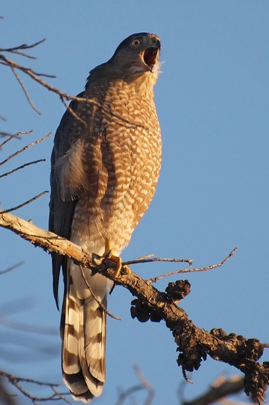 Whats For Lunch Asked Coopers Hawk >> A Cooper S Hawk Calling Yelling Whatever Flora Fauna