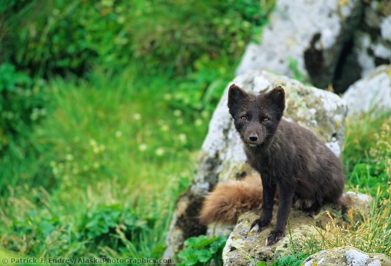Arctic fox, St. Paul, Pribilof Island, Alaska Arctic fox
