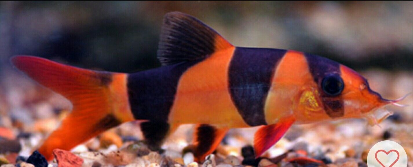 Clown Loach #TropicalFishFreshwater | Colorful Fish | Pinterest ...