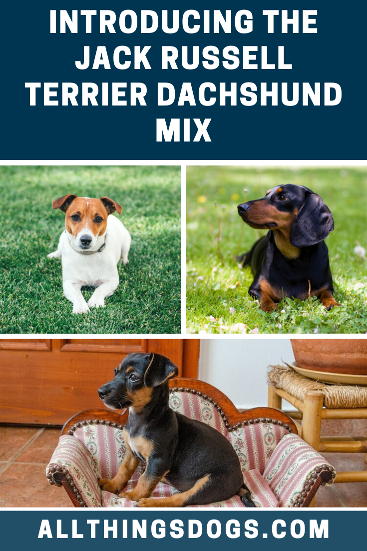 Jack Russell Terrier Dachshund Mix Dachshund Mix Dachshund Breed Jack Russell Terrier