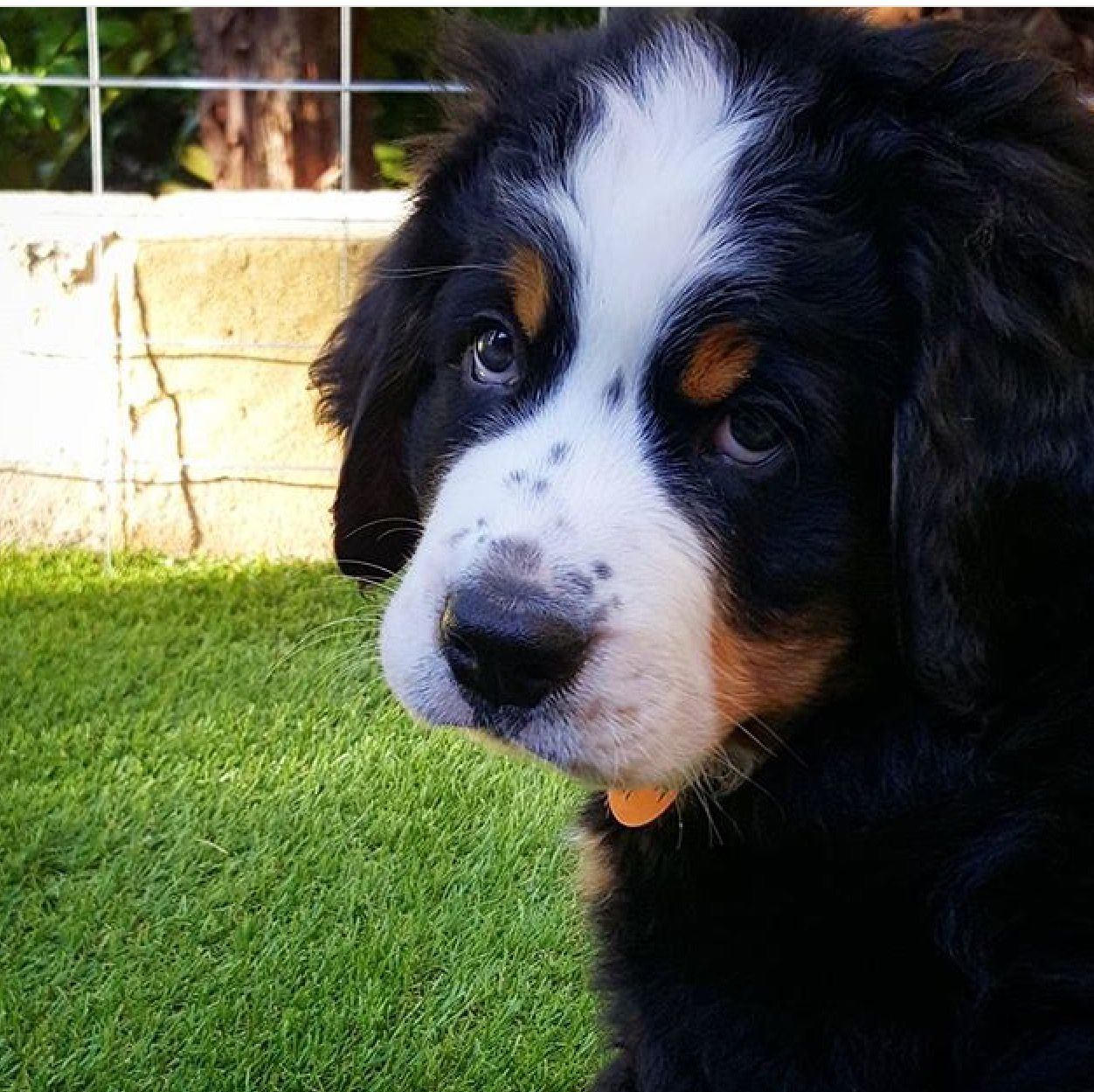 Pin By Ruth Mcgarvey On Bernese Mountain Dogs Dogs Mountain Dogs Bernese Mountain Dog