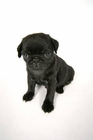 Photographic Print Black Pug Puppy 6 Weeks Old 24x16in